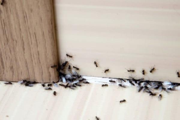 Το απόλυτο κόλπο για να εξαφανίσετε τα μυρμήγκια από το σπίτι!