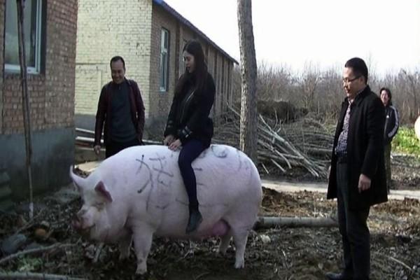 Κίνα: Προς πώληση γουρούνια σε μέγεθος πολικής αρκούδας!