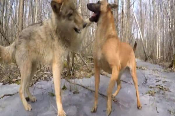 Σκύλος συναντά στο δάσος έναν λύκο: Η συνέχεια  θα σας αφήσει «άφωνους»! (Video)