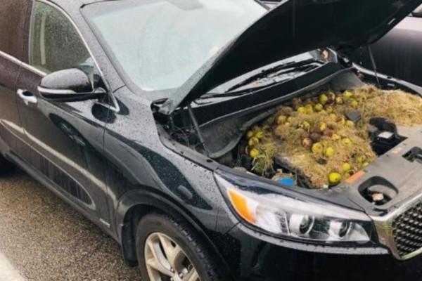 Απίστευτο: Σκίουροι έκρυβαν καρύδια.. στη μηχανή του αυτοκινήτου του!