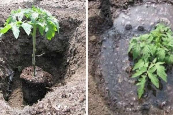 Με αυτόν τον τρόπο οι ντοματιές σας θα φτάσουν τα 2 μέτρα και θα βγάλουν διπλάσιες ντομάτες!