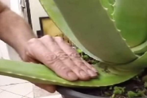 Ένα μαγικό βίντεο: Έτσι κόβουμε το φύλλο αλόης και το μετατρέπουμε σε τζελ. O έλληνας που τρέλανε το διαδίκτυο (Βίντεο)