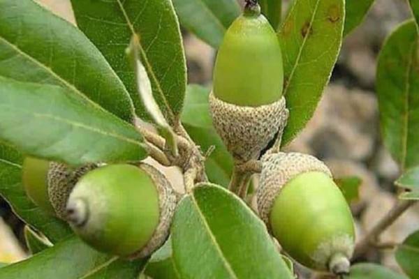 Γιατί να φυτεύουμε βελανιδιές στα καμμένα; Το ιερό δέντρο των αρχαίων Ελλήνων!
