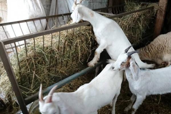Απίστευτο: Κλεμμένες ήταν οι..κατσίκες σε μαντρί!