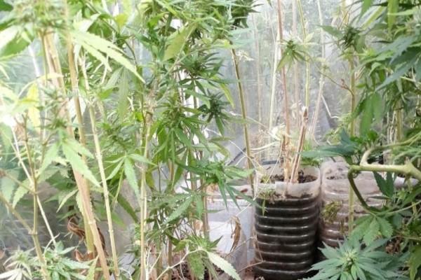 Λαμία: Καλλιεργούσε 63 χασισόδεντρα στην αποθήκη του!