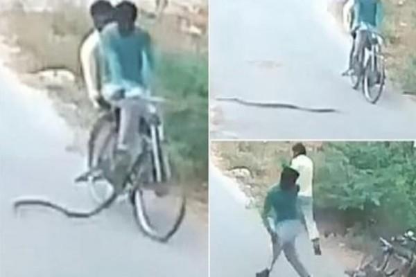 Ανατριχιαστικό: Κόμπρα επιτέθηκε σε ποδηλάτες που της έκοψαν το δρόμο!