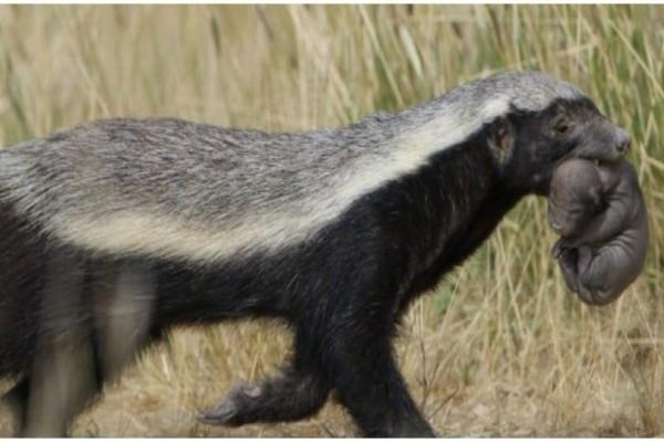 Τρομακτικό: Το πιο επικίνδυνο ζώο στον κόσμο! Τρέφεται με δηλητηριώδη φίδια!