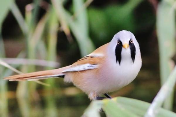 Θα πάθετε σοκ: Άντρας έκρυψε μέσα στο παντελόνι του 66 σπάνια πουλιά!