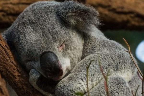 Αυστραλία: Φόβοι ότι εκατοντάδες κοάλα έχουν σκοτωθεί στις πυρκαγιές!