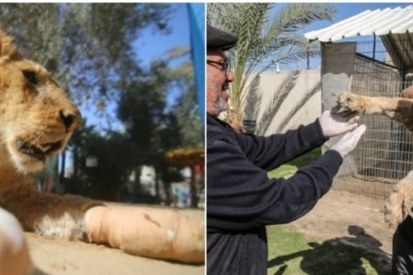 Έβγαλαν με πένσα τα νύχια από το λιοντάρι. Ο λόγος θα σας εκνευρίσει! (Photos)