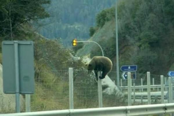 Αρκούδα σκαρφαλώνει τα συρματοπλέγματα για να περάσει την Εγνατία Οδό! (Video)