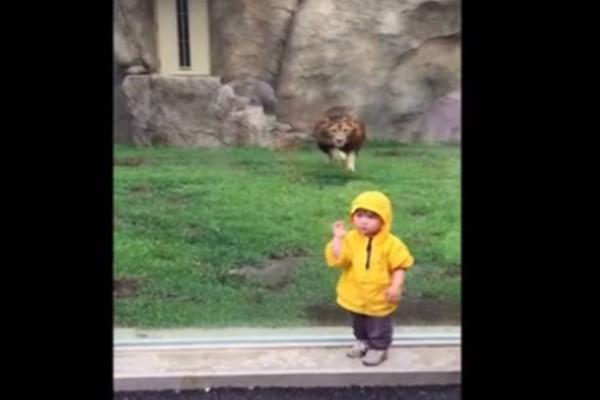 Λιοντάρι ετοιμάζεται να κατασπαράξει αγοράκι! Δευτερόλεπτα μετά συμβαίνει το... απίθανο!