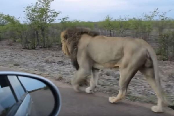 Αυτό το λιοντάρι προχωρούσε αμέριμνο στο δρόμο. Μια γυναίκα δεν τον άφηνε μέχρι που το λιοντάρι....