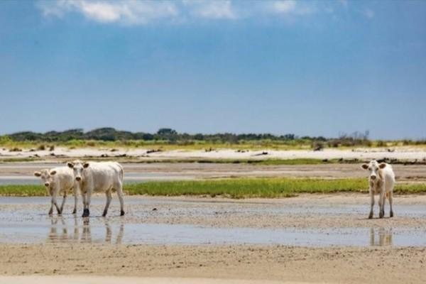 Αγελάδες ταξίδεψαν σε ερημονήσι! Ο τυφώνας τις παρέσυρε αλλά επέζησαν!