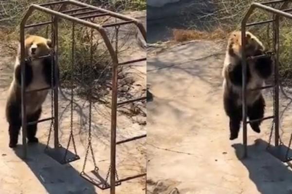 Αρκούδα χορεύει έξαλλα στον ζωολογικό κήπο και κατακτά το διαδίκτυο! (Video)