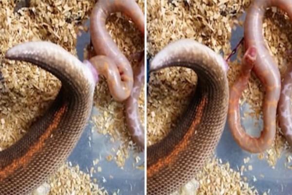 Αυτό το φίδι γεννά 6 μικρά φιδάκια - Αν δείτε τι συμβαίνει μόλις γεννηθούν θα μουδιάσετε!