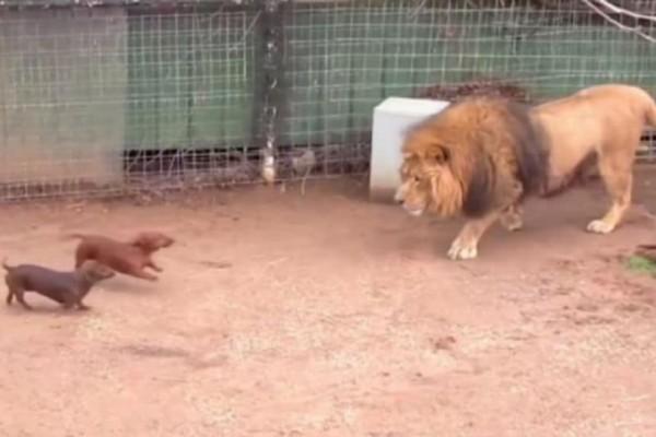 Λιοντάρι αντίκρισε 2 σκυλιά στο κλουβί του. Η αντίδρασή του ξεγέλασε τους πάντες!