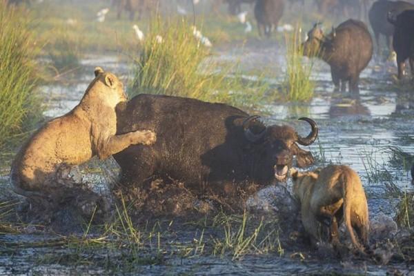Λιοντάρια της επιτίθενται για να φάνε τα παιδιά της! Τότε εκείνη κάνει το απίστευτο