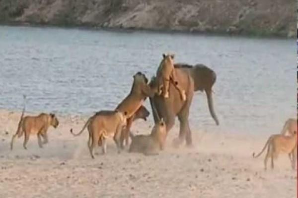 14 λιοντάρια ορμάνε σε ένα ελεφαντάκι! Η συνέχεια είναι σοκαριστική! (Video)