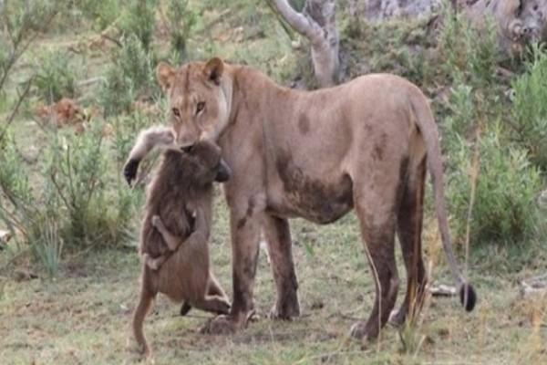 Λιοντάρι σκοτώνει μπαμπουίνο κι ανακαλύπτει το μωρό του- Δεν θα πιστεύετε την συνέχεια!