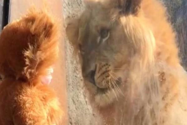 Μωρό ντυμένο λιοντάρι συναντά από κοντά αληθινό λιοντάρι! Λίγα λεπτά μετά συμβαίνει το απίστευτο
