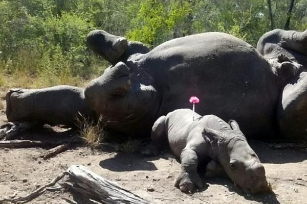 Μωρό ρινόκερος ξεσπάει σε κλάματα όταν βλέπει την νεκρή μητέρα του! Η εικόνα συγκινεί!