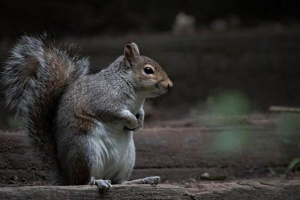 Άνδρας έφαγε εγκέφαλο σκίουρου και.. το αποτέλεσμα; Τραγικό!
