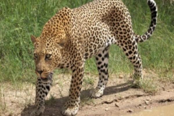 Λεοπάρδαλη κατασπάραξε και διαμέλισε 5χρονο αγόρι!