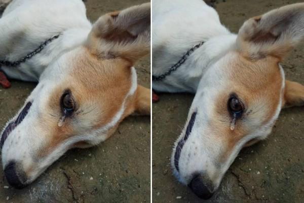 Θα δακρύσετε κι εσείς: Αυτό το σκυλάκι δακρύζει όταν καταλαβαίνει ότι σε λίγο θα πεθάνει επειδή έφαγε από φόλα!
