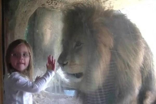 Αυτό το 5χρονο κοριτσάκι στέλνει φιλάκι στο λιοντάρι  - Όταν την είδε ο πατέρας της άρπαξε αμέσως την κάμερα!