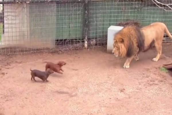 Άφησαν 2 κουτάβια μέσα στο κλουβί με το λιοντάρι -  Η αντίδραση του λιονταριού είναι δεν σίγουρα αυτή που περιμένατε!