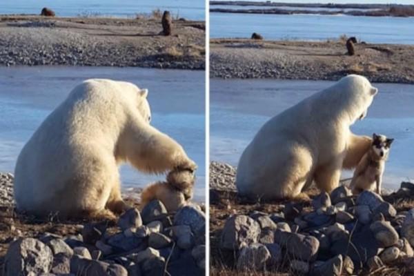 Αυτή η πολική αρκούδα βρίσκει ένα μικρό σκύλο! Αντί να του επιτεθεί δείτε τι κάνει...