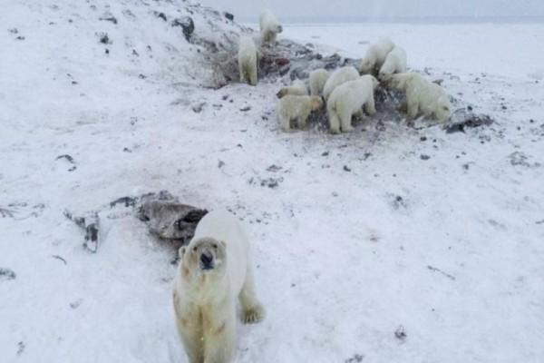 50 πεινασμένες αρκούδες εισέβαλαν σε.. χωριό! (Video)
