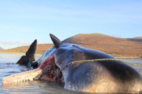 Βρέθηκε φάλαινα φυσητήρας με απορρίματα βάρους 100 κιλών στο στομάχι!