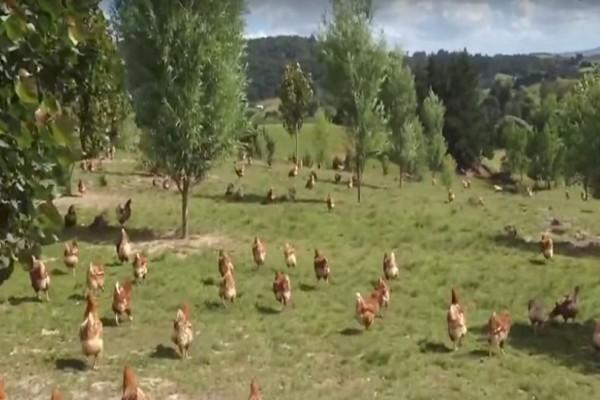 Προσοχή! Όταν δείτε πώς ζουν αυτές οι κότες θα...μετανιώσετε τα αυγά που αγοράζετε τόσα χρόνια!