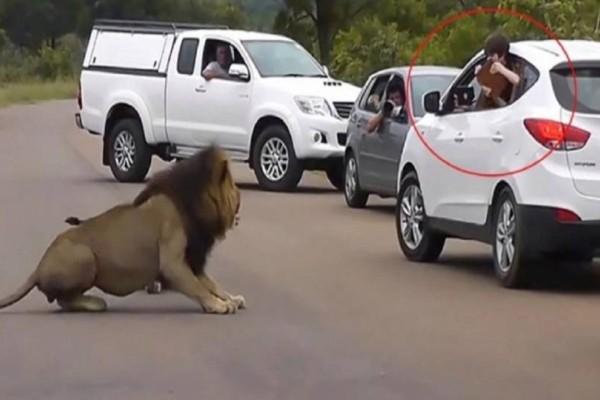 5χρονο αγοράκι βγαίνει στο παράθυρο του αυτοκινήτου για να φωτογραφίσει αυτό το λιοντάρι - Αμέσως μετά συμβαίνει κάτι ανατριχιαστικό!