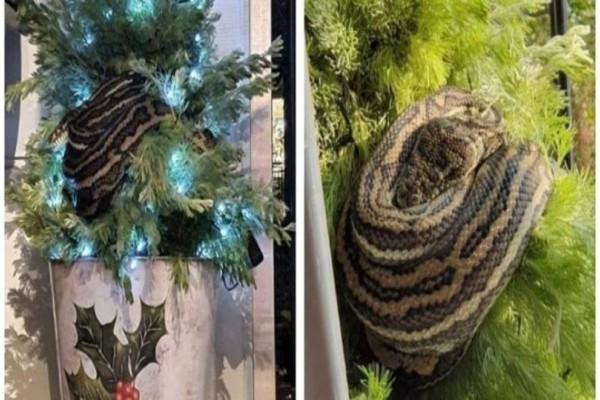 Πύθωνας 3 μέτρων μπήκε σε ένα σπίτι και...έγινε η γιρλάντα στο χριστουγεννιάτικο δέντρο!