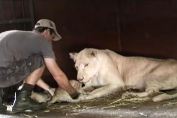 Άνδρας προσπάθησε να αρπάξει ένα λιονταράκι. Αυτό που κάνει η μαμά λέαινα θα σας κόψει την ανάσα!