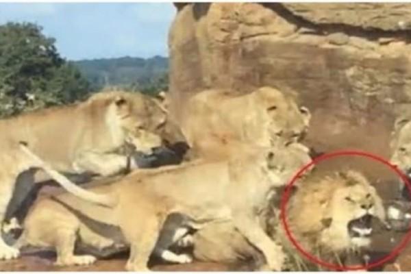 Συγκλονιστικό βίντεο: 9 λέαινες ορμάνε να κατασπαράξουν τον αρχηγό της αγέλης!