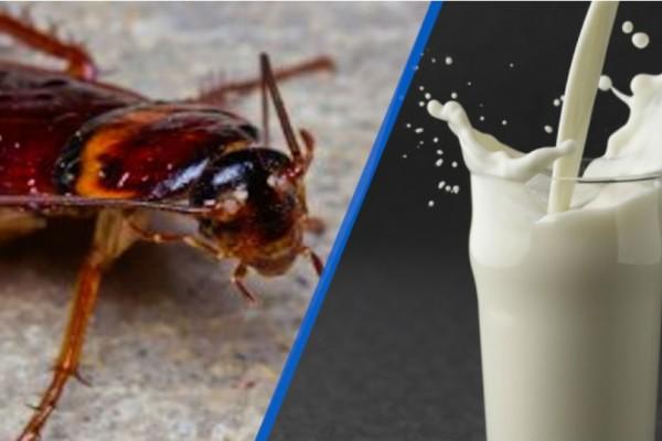 Ανατριχιαστικό: Το γάλα κατσαρίδας είναι το νέο superfood!