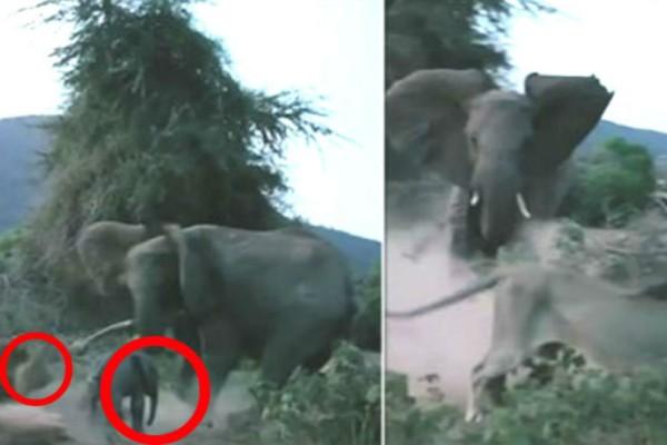 Λιοντάρι ορμάει σε ελέφαντα. Με την συνέχεια θα ανατριχιάσετε!