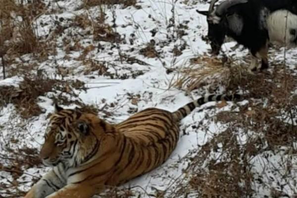 Πέταξαν μια κατσίκα στο κλουβί της τίγρης...Αυτό που ακολούθησε, ξεπερνάει τα όρια της φαντασίας μας!
