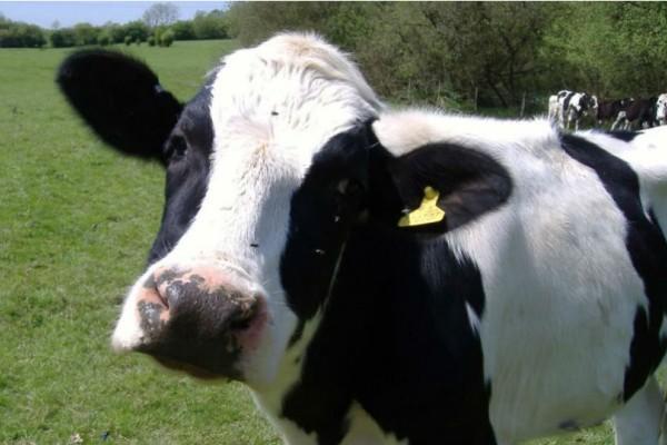 Αυτή η αγελάδα είναι ευγενέστατη και με τρόπους! Μόλις δείτε τι κάνει θα δακρύσετε!