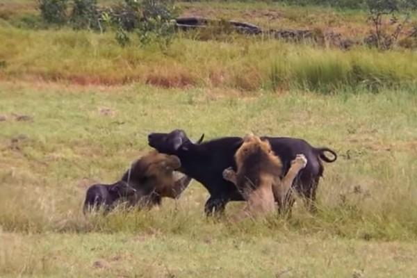 Λιοντάρι εντόπισε μια αγελάδα με το μωρό της.... Αυτό που έκανε στη συνέχεια αηδιάζει!