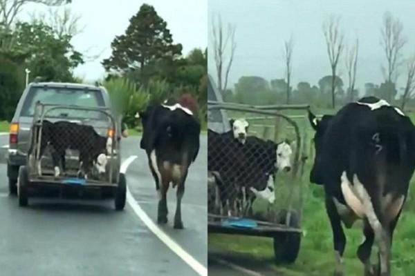 Απομάκρυναν τα μωρά αυτής της αγελάδας και ξεκίνησε να τρέχει πίσω από το κλουβί! Θα δακρύσετε όταν το δείτε...
