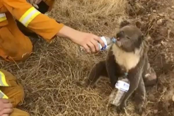 Αυστραλία: Τα ζώα στρεφόνται προς τους ανθρώπους για ένα χέρι βοηθείας!