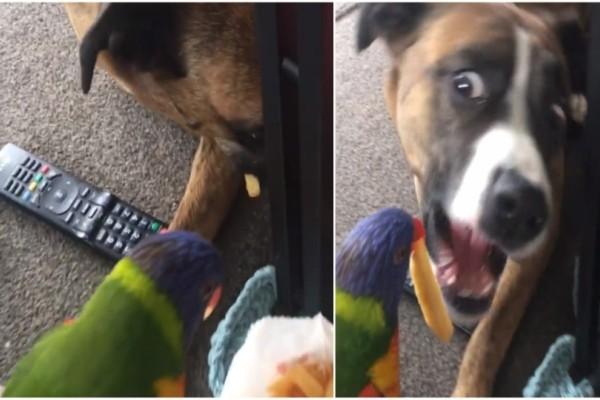 Αυτός ο παπαγάλος ταΐζει πατάτες τον σκύλο - αδερφό του...Θα λιώσετε όταν το δείτε!