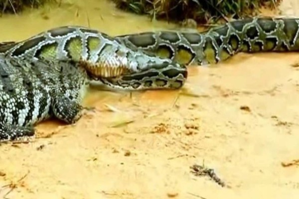 Κροκόδειλος γραπώνει πύθωνα μέσα στα σαγόνια! Η αντίδραση του φιδιού είναι επική (video)