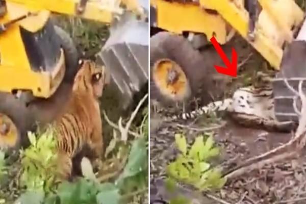 Εργάτες σε ορυχείο πάτησαν με μπουλντόζα μια σπάνια τίγρη! Το σοκαριστικό στην υπόθεση είναι όμως ότι...