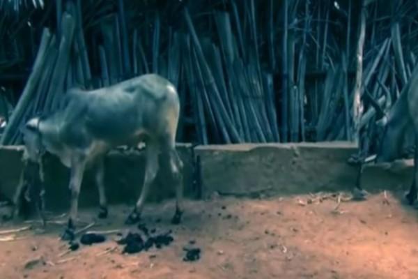 Αυτή η αγελάδα καθόταν αμέριμνη όταν χτυπήθηκε από ένα φάντασμα...Την στιγμή απαθανάτισε μια κάμερα!